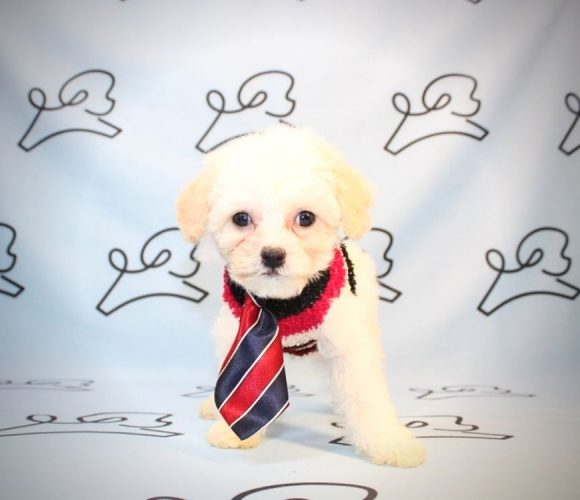 Charlie Puth - maltipoo puppies in Los Angeles.3