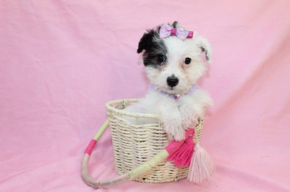 Charms - Teacup Maltipoo Puppy3