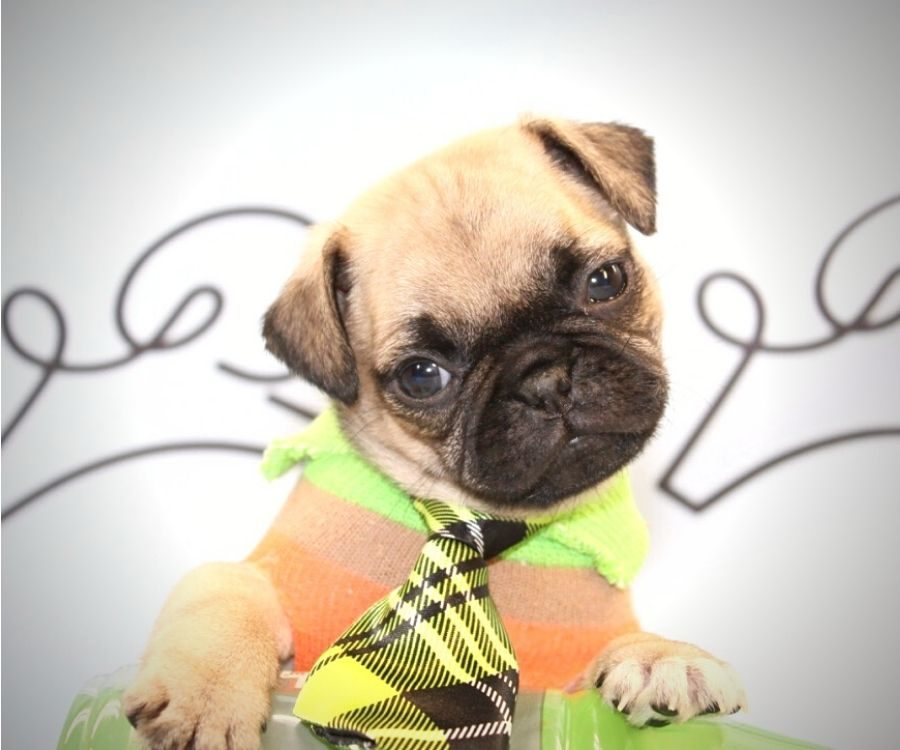 Chewy - toy pug puppy in Las Vegas:Los Angeles.0