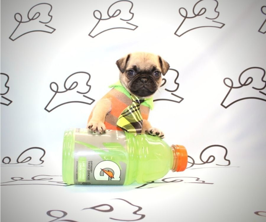 Chewy - toy pug puppy in Las Vegas:Los Angeles.1