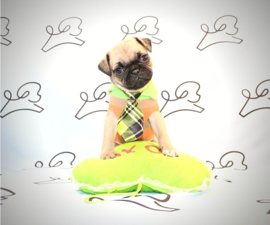 Chewy - toy pug puppy in Las Vegas:Los Angeles.3