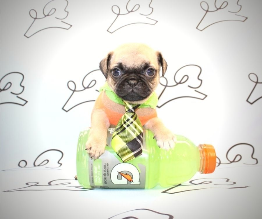 Chewy - toy pug puppy in Las Vegas:Los Angeles.4