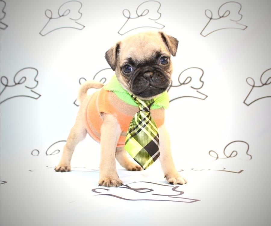 Chewy - toy pug puppy in Las Vegas:Los Angeles.5