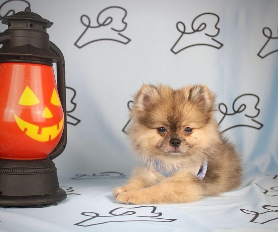 Chief - toy pomeranian puppy in Las Vegas:Los Angeles.0