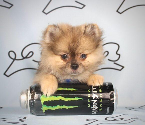 Chief - toy pomeranian puppy in Las Vegas:Los Angeles.2