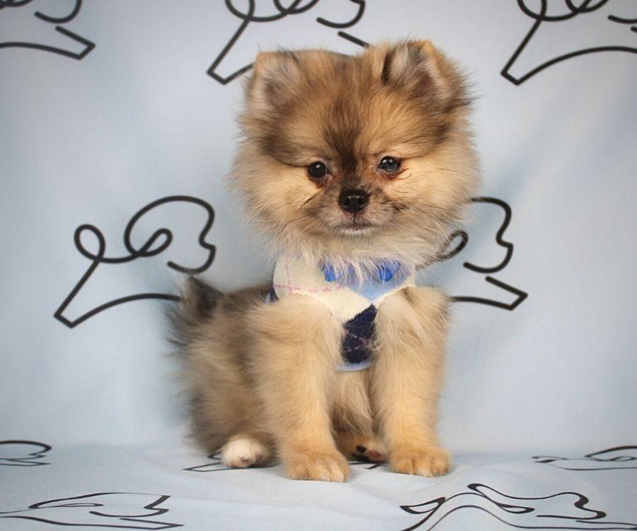 Chief - toy pomeranian puppy in Las Vegas:Los Angeles.4