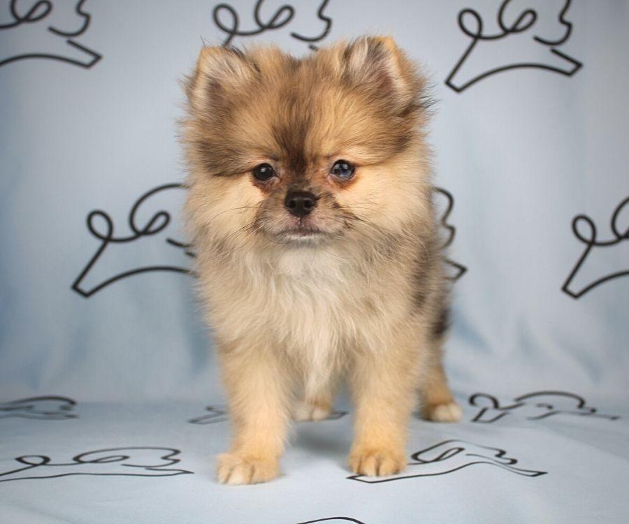 Chief - toy pomeranian puppy in Las Vegas:Los Angeles.5