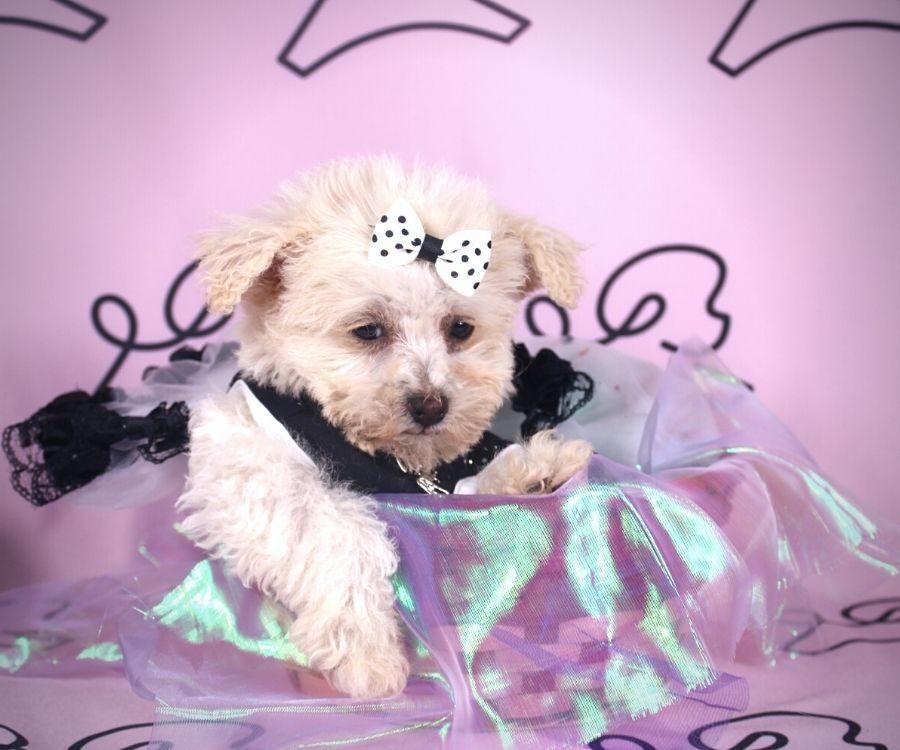 Cindy - toy maltipoo puppy in Las Vegas:Los Angeles.0