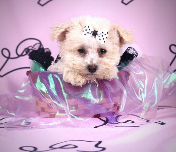 Cindy - toy maltipoo puppy in Las Vegas:Los Angeles.1
