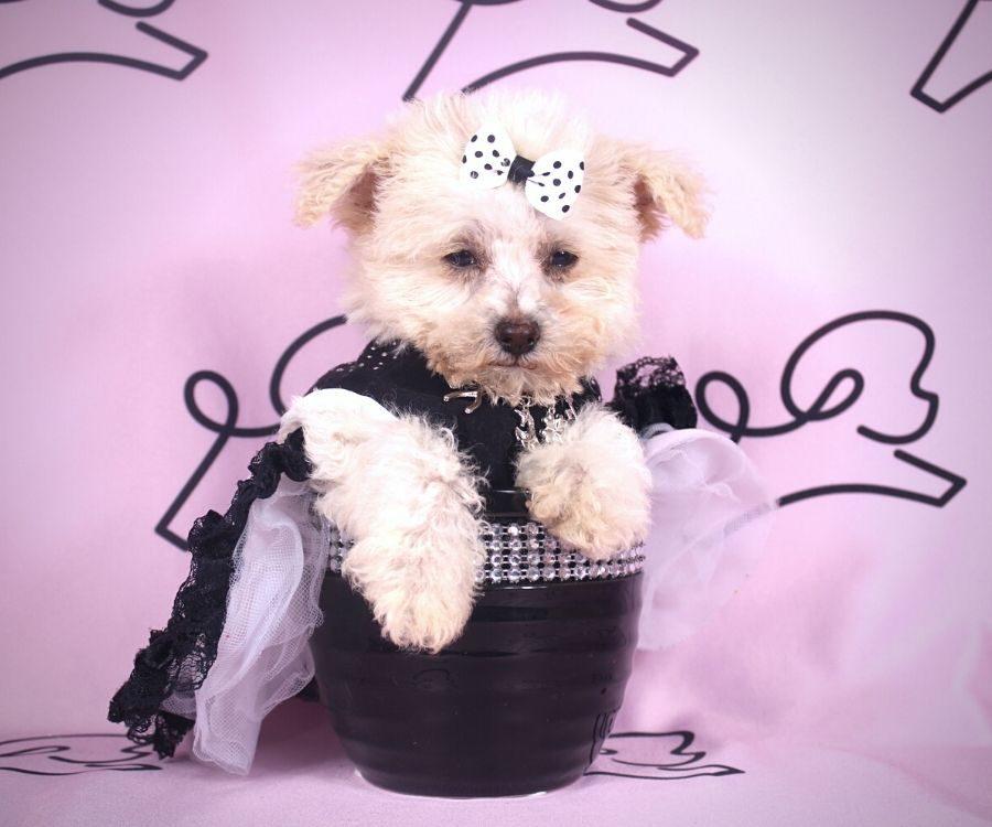Cindy - toy maltipoo puppy in Las Vegas:Los Angeles.2