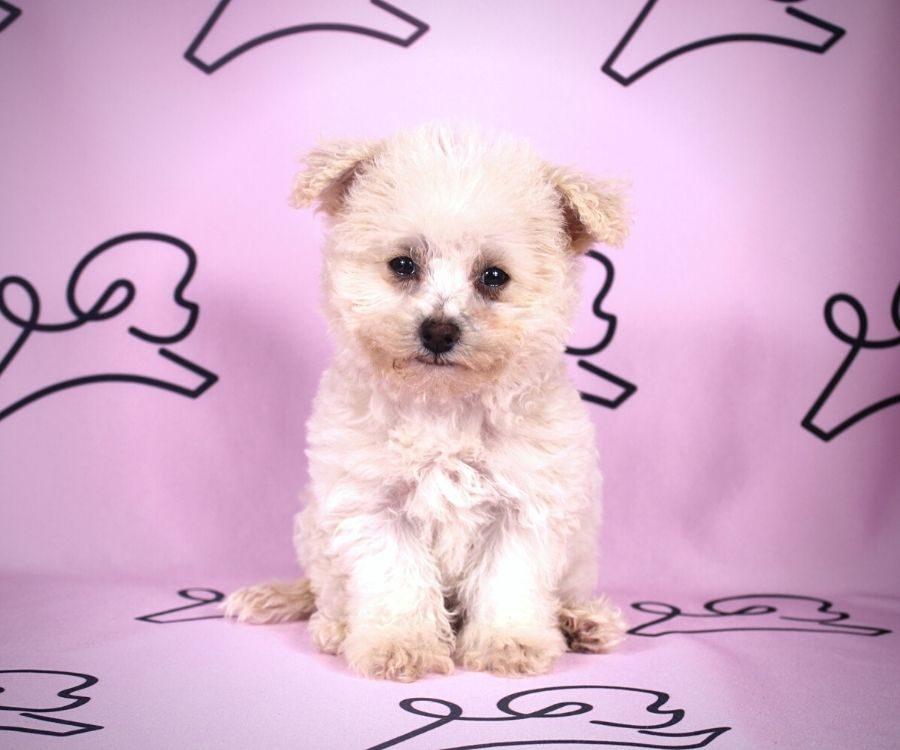 Cindy - toy maltipoo puppy in Las Vegas:Los Angeles.3