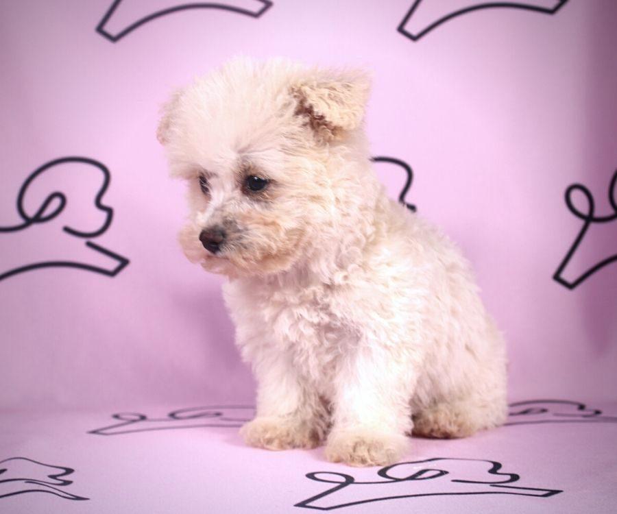 Cindy - toy maltipoo puppy in Las Vegas:Los Angeles.5