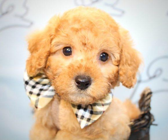 Coco - Miniature Poodle puppy in Las Vegas.3