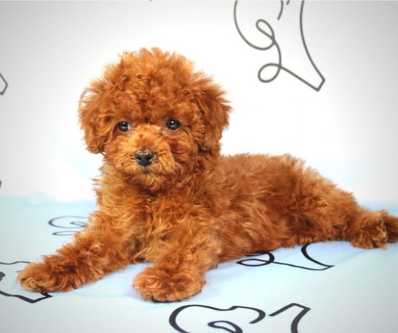 Cocoa - Teacup Poodle Puppy in Las Vegas.4