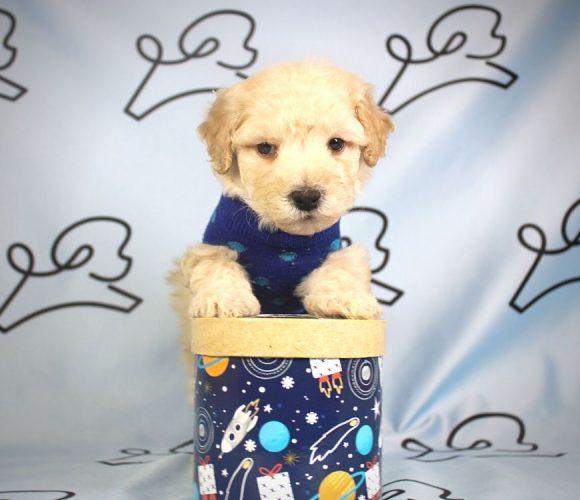 Colin - toy poodle puppy in Las Vegas:Los Angeles.1