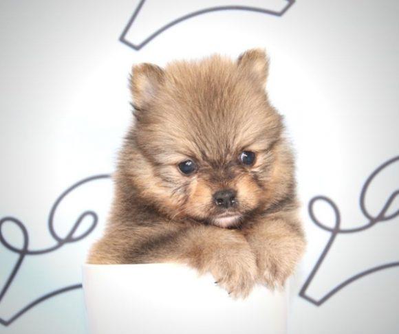 Conor - Toy Pomeranian Puppy In Las Vegas.2