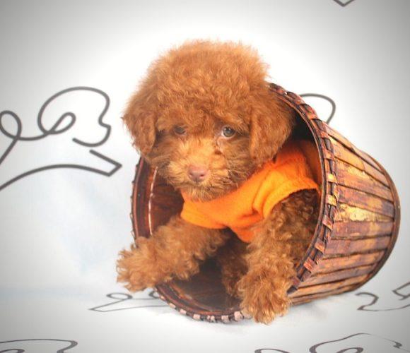 Copper - toy poodle puppy in Las Vegas:Los Angeles.2
