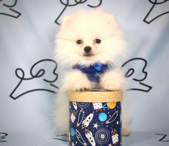 Cottonball - toy pomeranian puppy in Las Vegas:Los Angeles.2