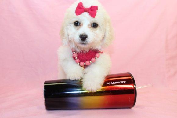 Crema - Toy Maltipoo Puppy1