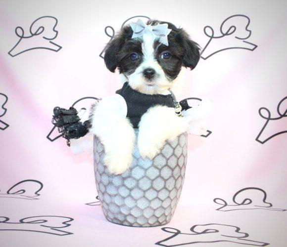 Cruella Deville - Shih Tzu Dog in Santa Barbara.1