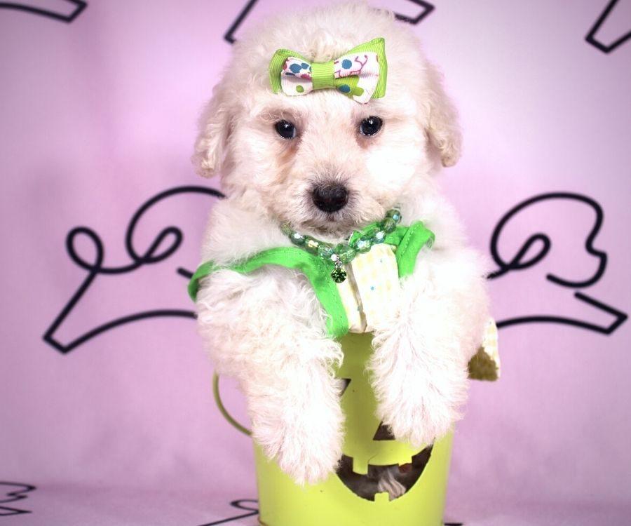 Daisy - toy maltipoo puppy in Las Vegas:Los Angeles.0