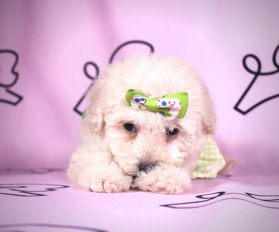 Daisy - toy maltipoo puppy in Las Vegas:Los Angeles.1