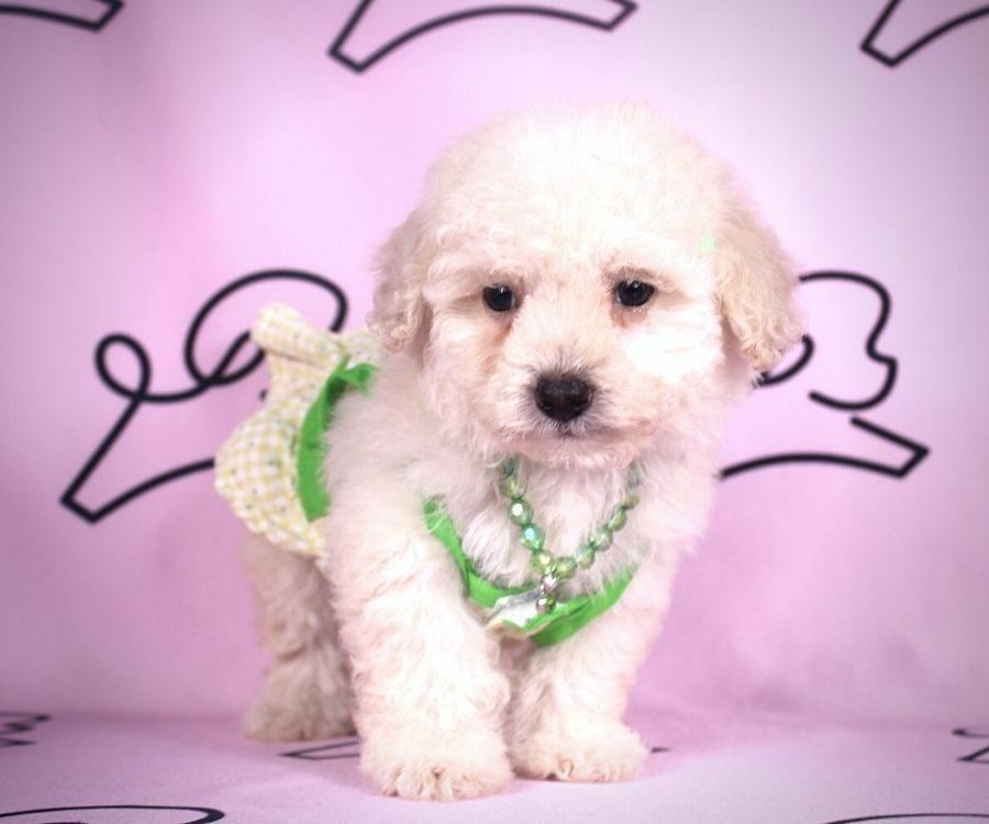 Daisy - toy maltipoo puppy in Las Vegas:Los Angeles.2