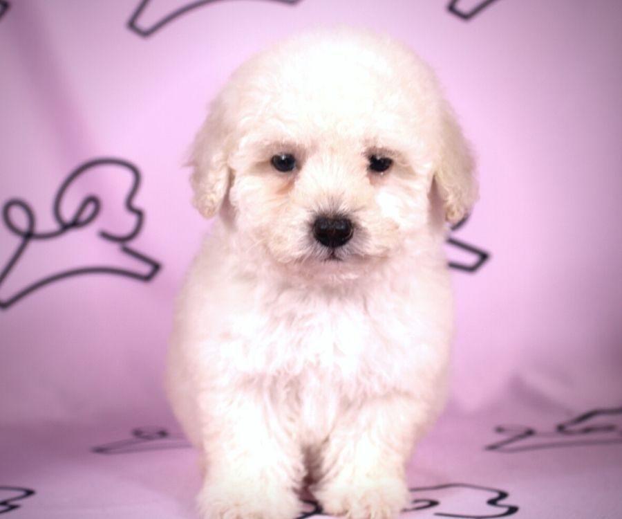 Daisy - toy maltipoo puppy in Las Vegas:Los Angeles.3