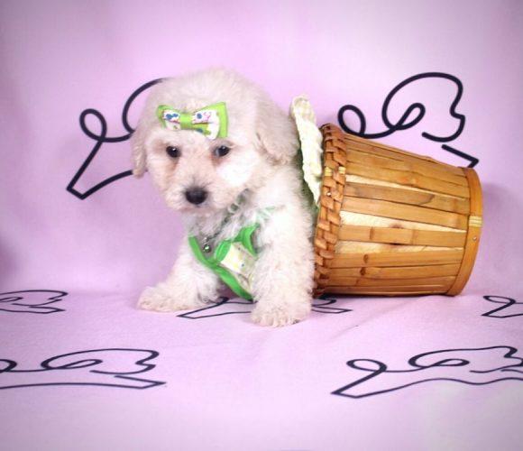 Daisy - toy maltipoo puppy in Las Vegas:Los Angeles.4