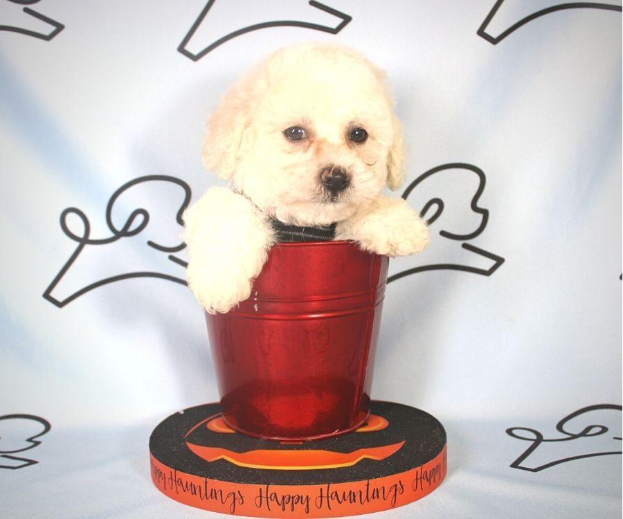 Damon - Toy Poodle puppy in Las Vegas:Los Angeles.1