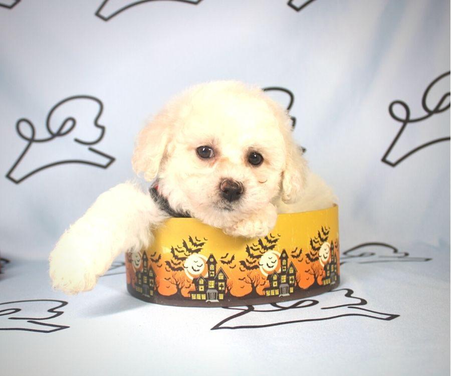 Damon - Toy Poodle puppy in Las Vegas:Los Angeles.2