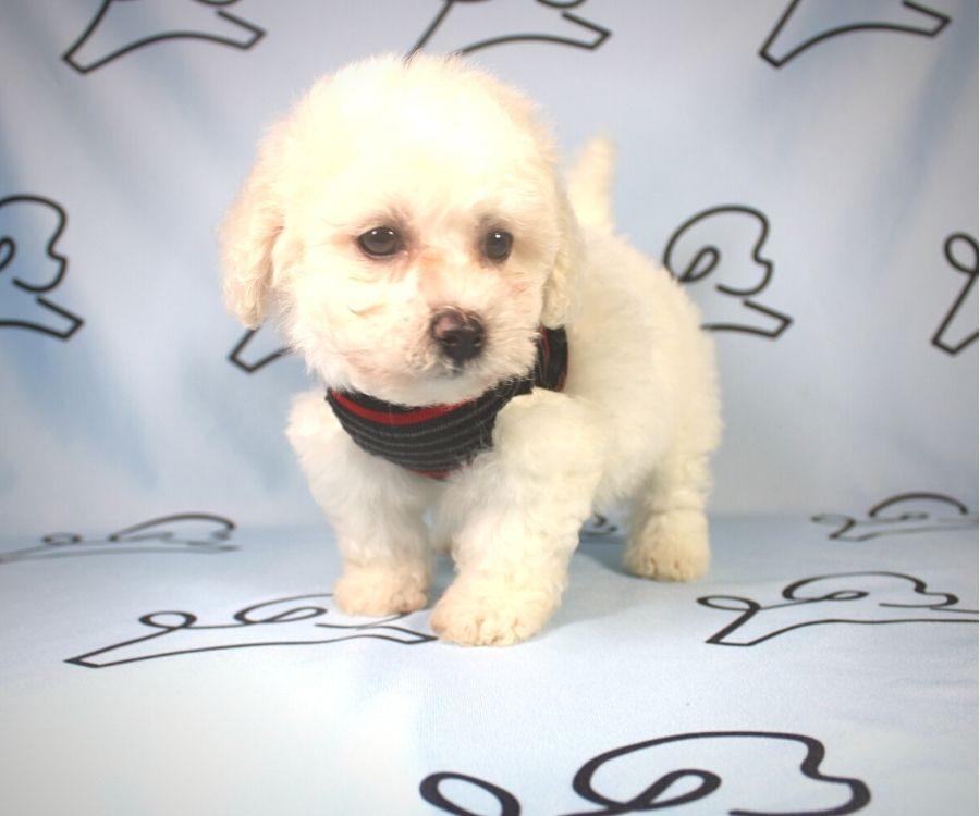 Damon - Toy Poodle puppy in Las Vegas:Los Angeles.4