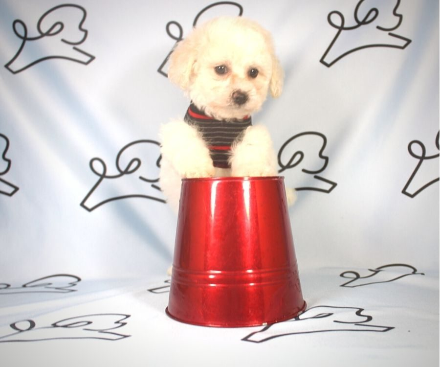 Damon - Toy Poodle puppy in Las Vegas:Los Angeles.5