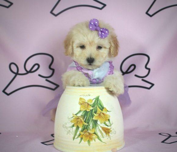 Daphne - toy poodle puppy in Las Vegas:Los Angeles.3