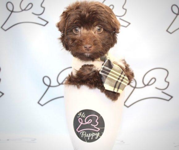 David Niven - Toy Maltipoo Puppy Near Los Angeles.1