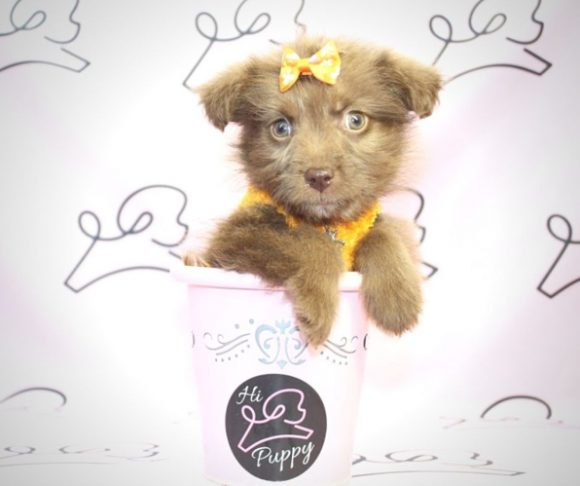Diana Ross - Toy Maltipoo Puppy By Breeder.2
