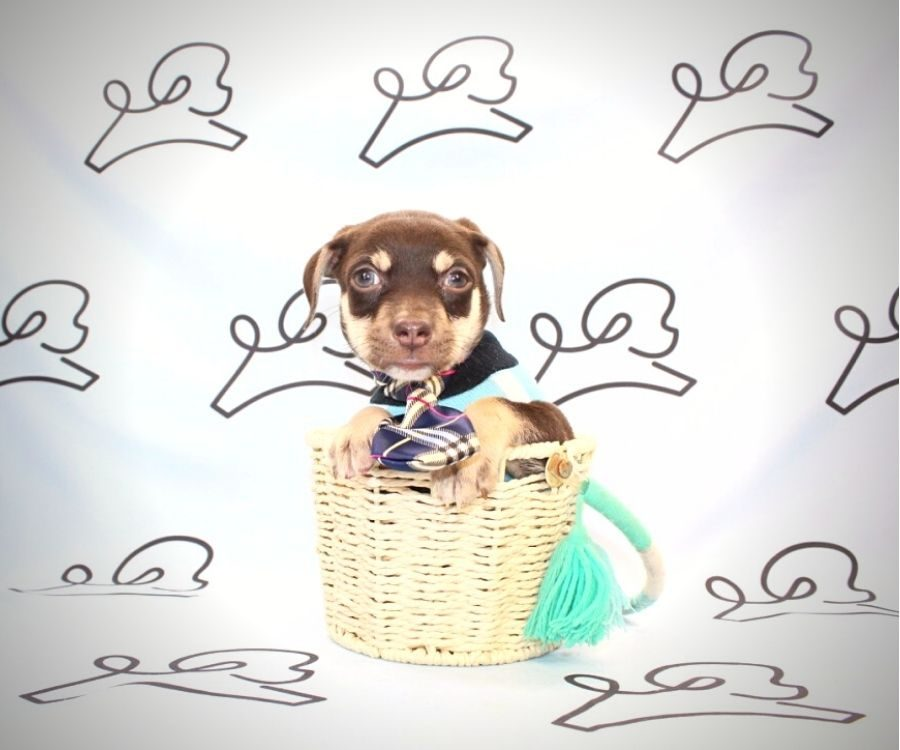 Diddy - teacup chihuahua puppy in Las Vegas:Los Angeles.1