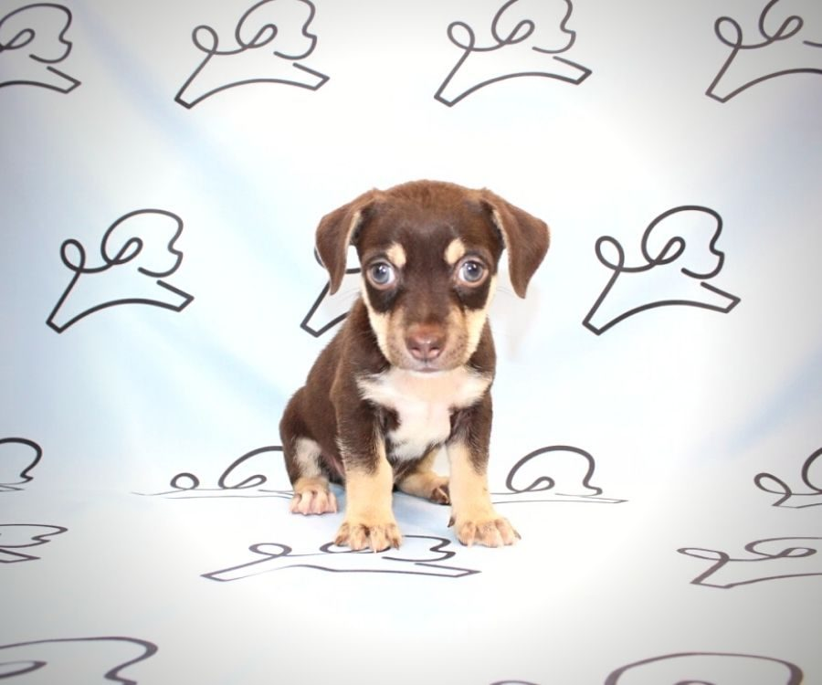 Diddy - teacup chihuahua puppy in Las Vegas:Los Angeles.4
