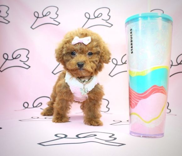 Donna Summer - miniature poodle in Los Angeles.1
