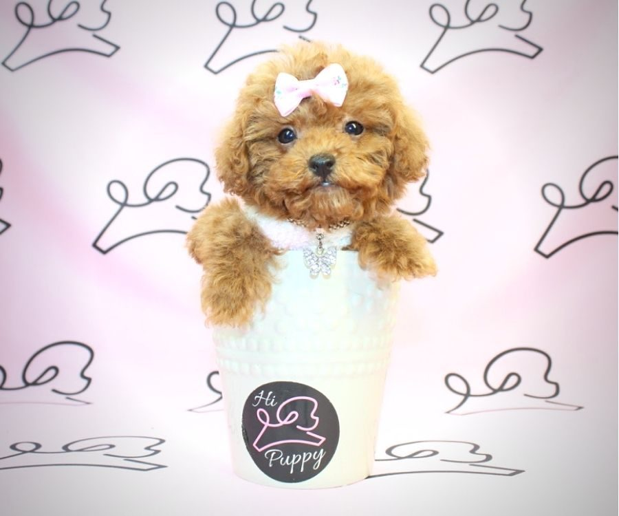 Donna Summer - miniature poodle in Los Angeles.2