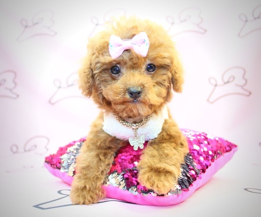 Donna Summer - miniature poodle in Los Angeles.4