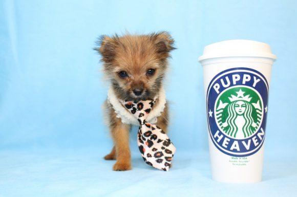Dracula - Teacup Porkie Puppy10