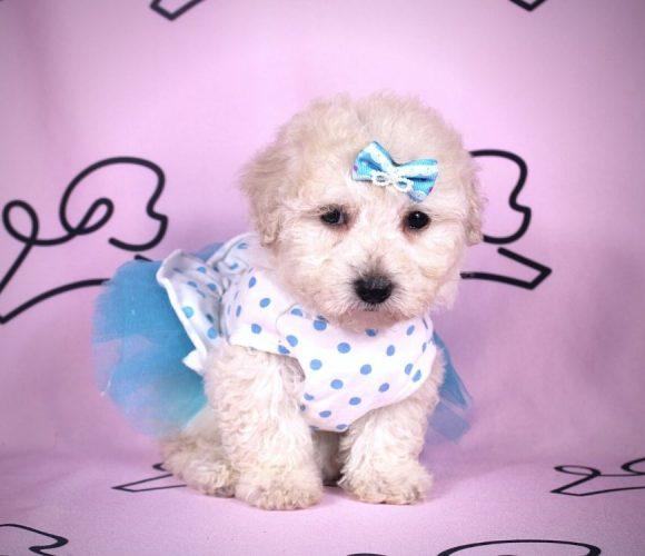 Duchess - toy maltipoo puppy in Las Vegas:Los Angeles.0