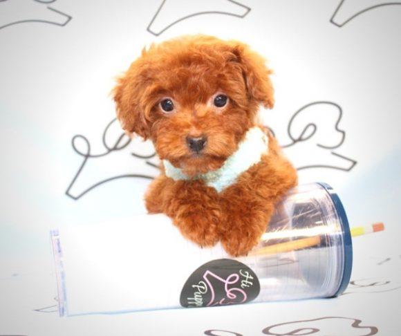 Dumplin - Teacup Poodle Puppy For Sale.2