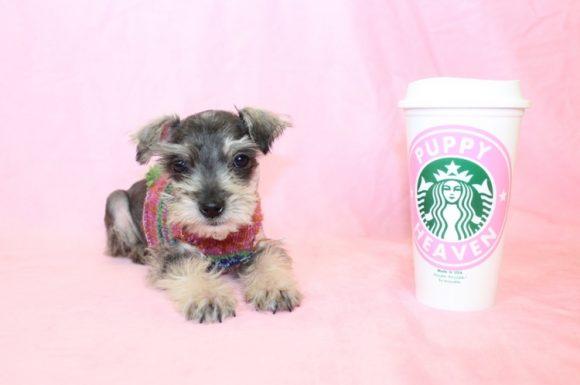 Ellen - Teacup Schnauzer Puppy9
