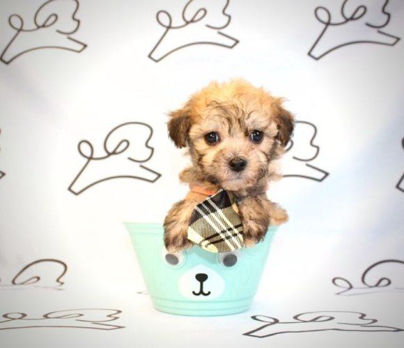 Elliot - teacup maltipoo puppy in Las Vegas:Los Angeles.4