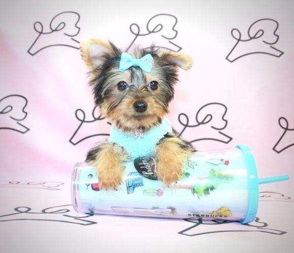 Elmyra Duff - yorkie puppies in Santa Monica.1