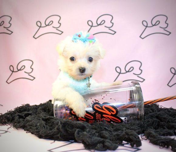 Elsa- teacup maltipoo puppy in Las Vegas:Los Angeles.1