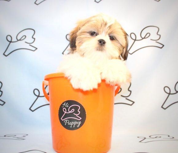 Elton John - shih tzu puppies in Las Vegas.0