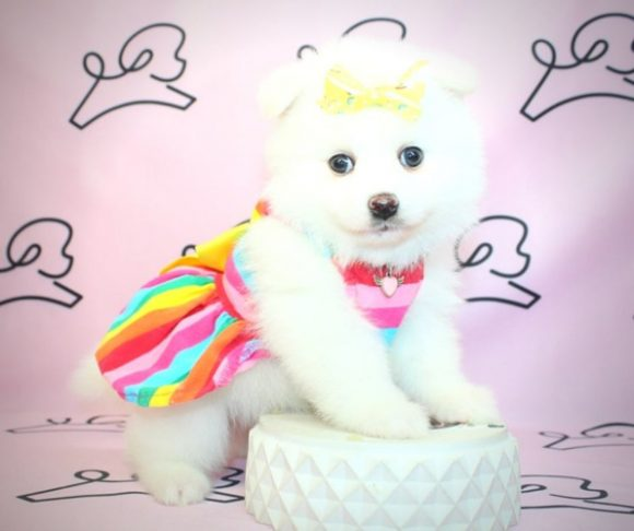 Everly - Pomeranian Puppy in Las Vegas NV.2